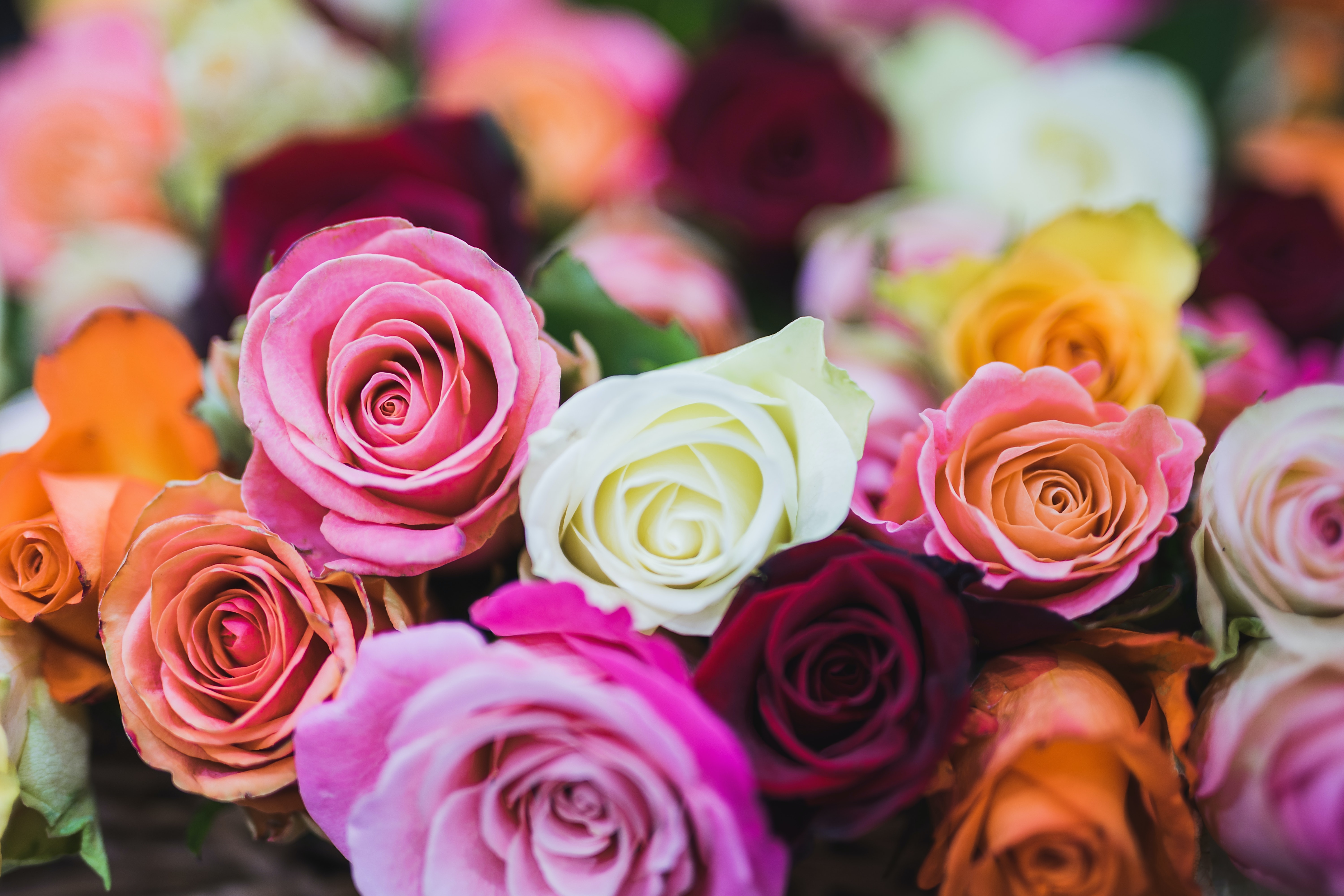 Assorted Color Of Rose Flowers Free Stock Photo