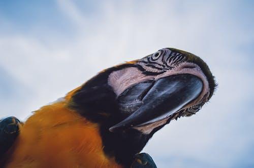 Free stock photo of ara ararauna, bird, blue and gold macaw