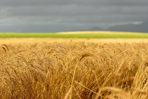 Selective Focus Photo of a Wheat Field