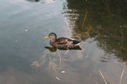 Brown Duck Swimming on Clear Water