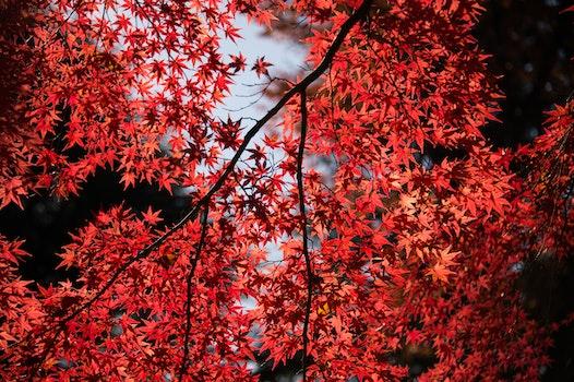 Kostenloses Stock Foto zu natur, rot, äste, blätter