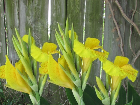 Free stock photo of flowers, wooden fence, yellow canna