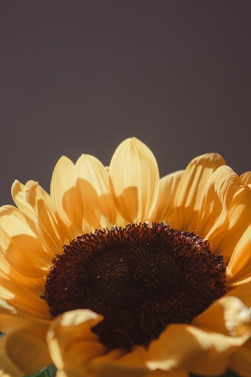 Immagine gratuita di bellissimo, carta da parati girasole, colore