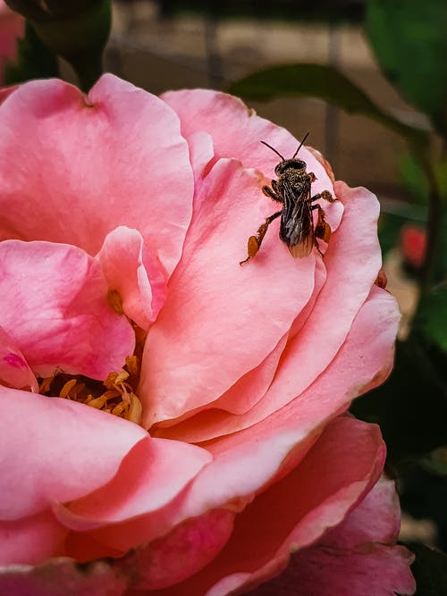 Free stock photo of bee, nature photography, Pink Rose