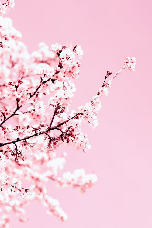 Sakura with blooming pink flowers on pink background