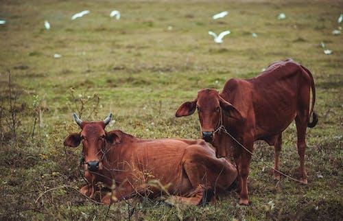 Základová fotografie zdarma na téma bílý pták, býk, denní světlo, farma