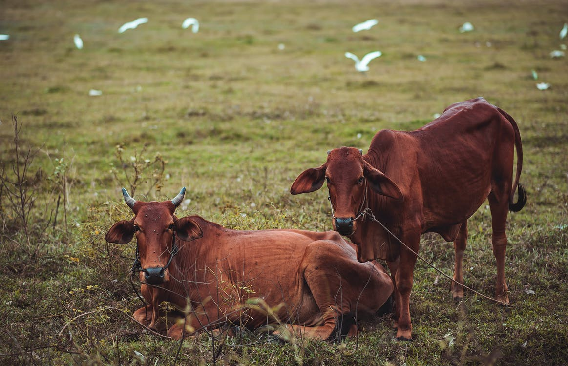 Two Brown Cow on Grass Field