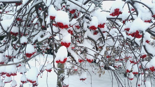 Free stock photo of Finland, rowan tree, snow, tree
