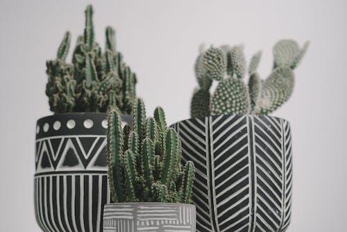 サボテン, デコレーション, パターンの無料の写真素材