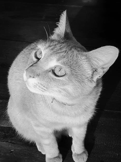 Free stock photo of black and white, cat, eyes