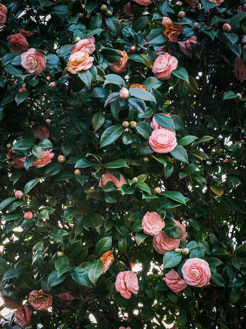 Fragrant lush common camellia shrub with gentle pink flowers growing in garden on sunny day
