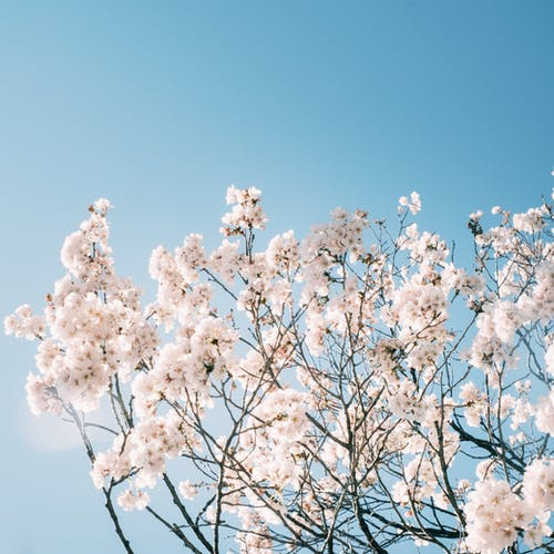Blooming cherry tree with gentle white flowers under blue sky