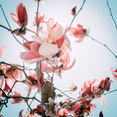 From below of gentle pink magnolia flowers blooming on thin branches against cloudless blue sky in sunlight