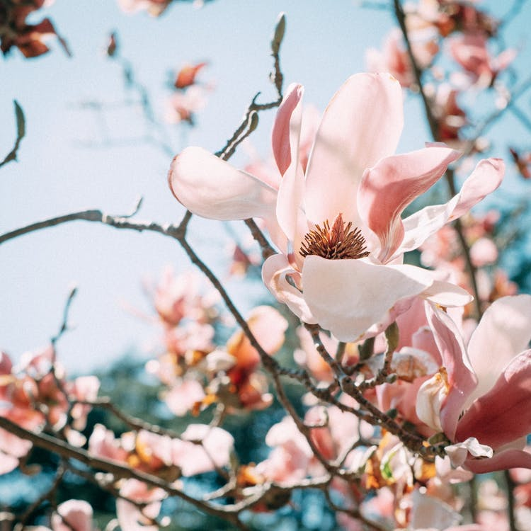 Low angle of fragrant magnolia flowers with gentle pink petals blooming on tree branches in park on sunny day