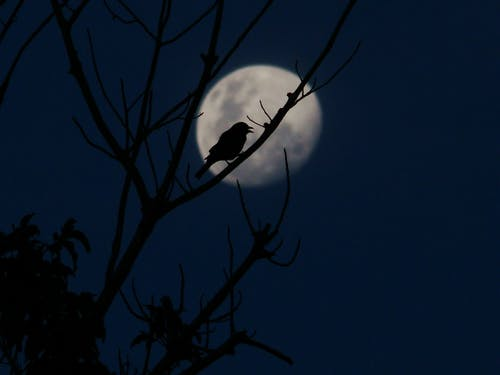 Silhouette of a Bird Sitting on a Tree Branch During Full Moon
