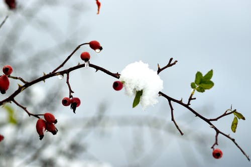 ローズヒップ, 雪の無料の写真素材