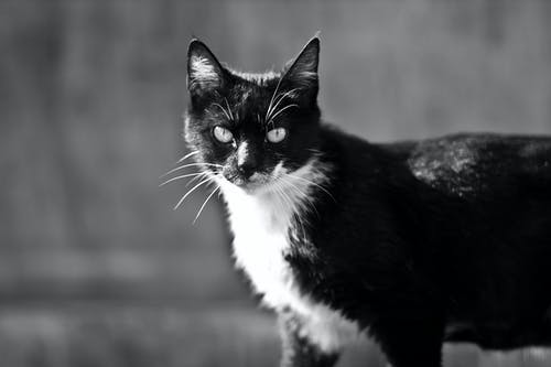 Grayscale Photo of a Tabby Cat Looking at Camera