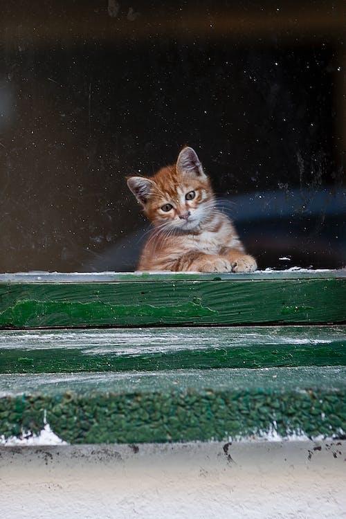 Δωρεάν στοκ φωτογραφιών με αιλουροειδές, αξιολάτρευτος, Γάτα