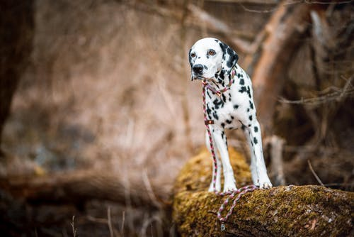 Black and White Dalmatian Dog on Brown and Green Grass