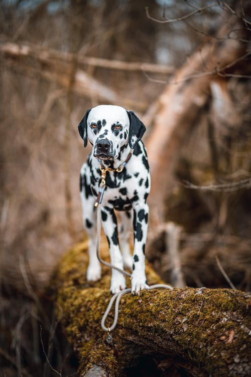 Black and White Dalmatian Dog on Brown Grass Field