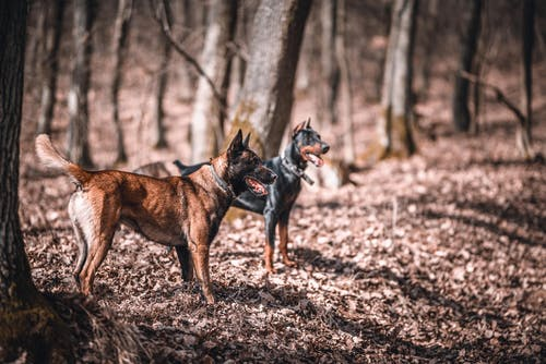 Brown and Black German Shepherd on Forest