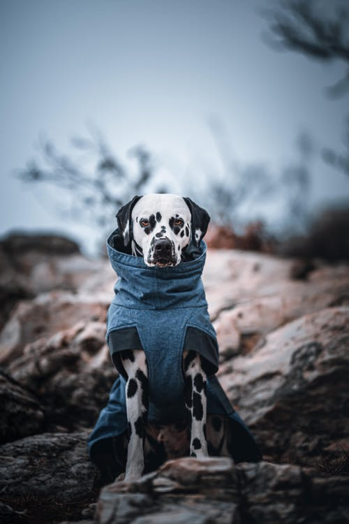 Dalmatian Dog in Blue Shirt