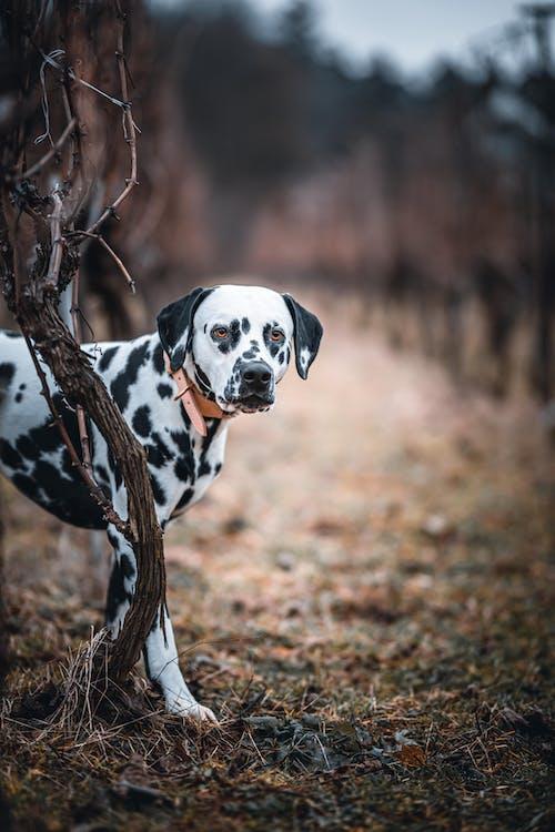 Close-Up Shot of a Standing Dalmatian Looking at Camera