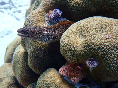 A Yellow Spotted Moray in the Corals