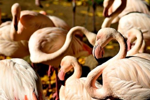 フラミンゴ, 動物園, 恥ずかしいの無料の写真素材