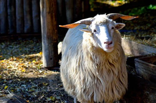 ovcevalaå¡skã¡, 卵子, 羊, 角の無料の写真素材