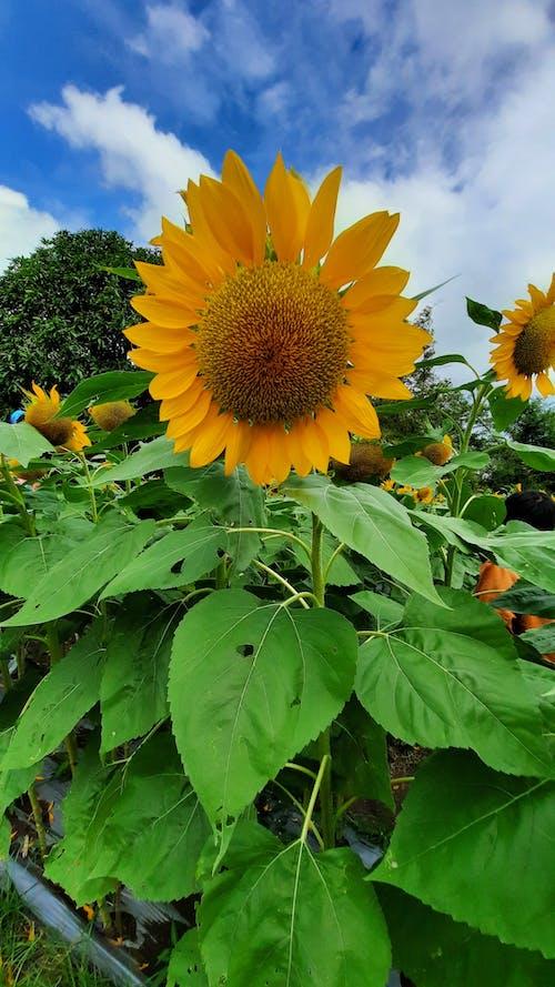 Free stock photo of flower, philippines, sunflower