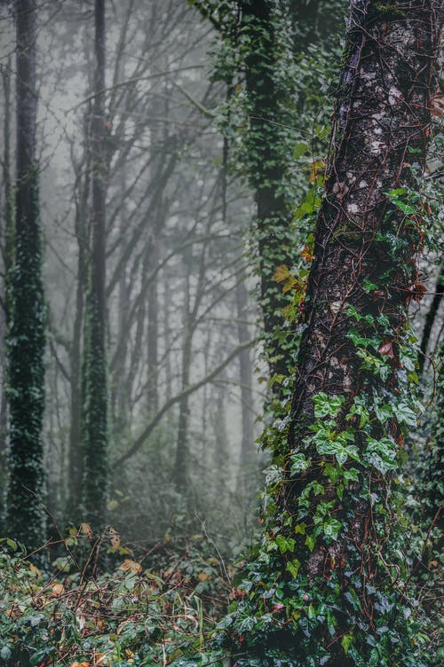 Tall trees with leafless branches and trunks covered with green leaves growing in dense woodland in foggy day in nature