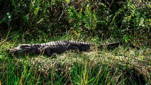 Black Crocodile on Green Grass