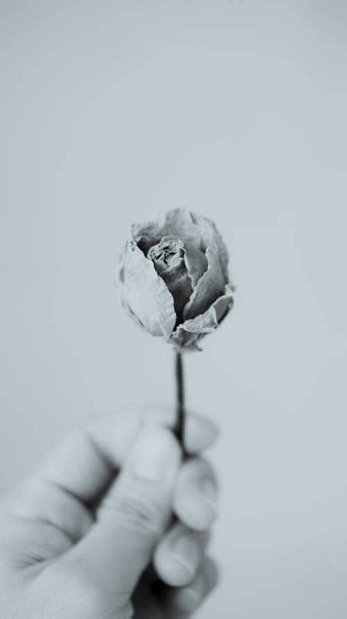 Black and white of crop unrecognizable person with small withered rose with stalk in hand on white background in room