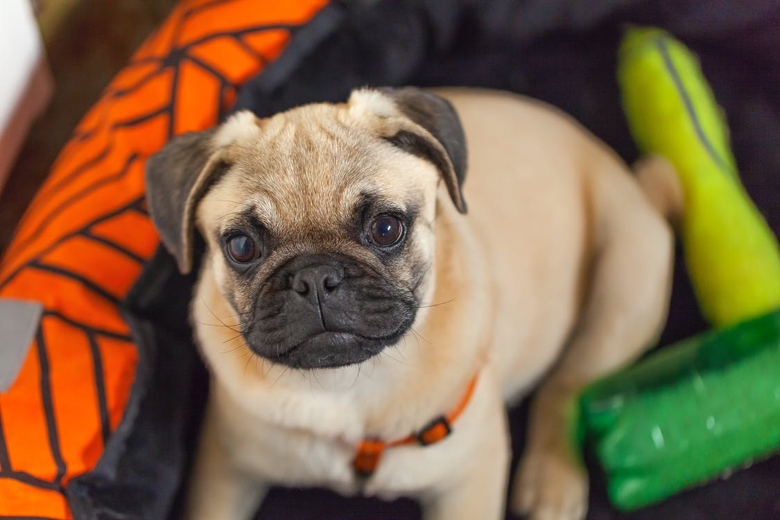 Free stock photo of cute animals, plays, pug