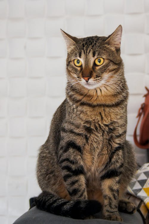 Close-Up Shot of a Domestic Short-Haired Cat Sitting