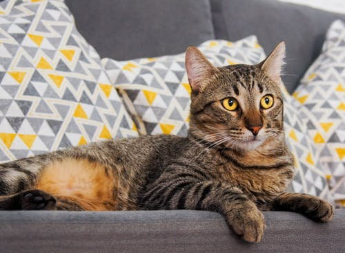Close-Up Shot of a Domestic Short-Haired Cat Lying on a Sofa