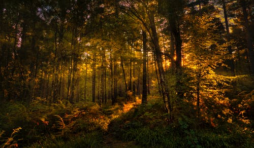 Sun Beams Through the Trees in the Forest