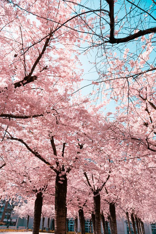 Cherry Blossom Trees with Blooming Pink Flowers