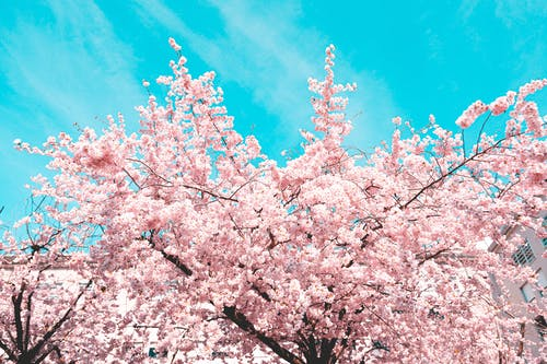 Close-Up Photo of a Sakura Tree with Pink Flowers