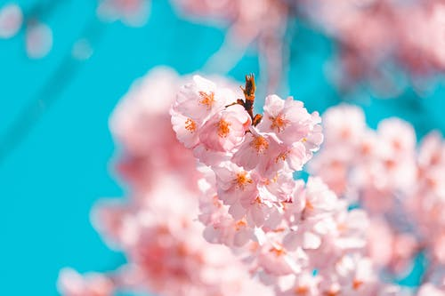 Selective Focus Photo of Blooming Pink Cherry Blossom Flowers