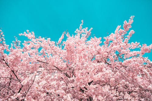 Pink Cherry Blossom Tree Under Blue Sky