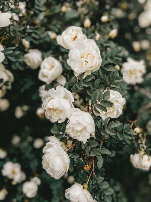 Бесплатное стоковое фото с аромат, Ароматический, белый