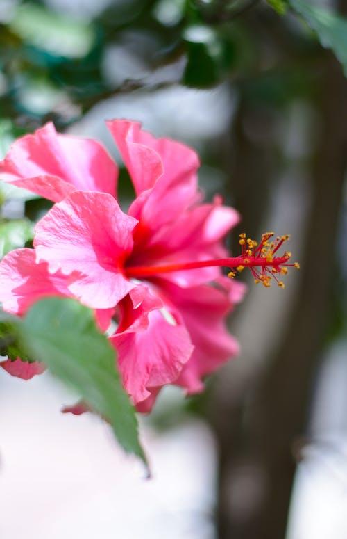Blooming Hibiscus Macro Photo