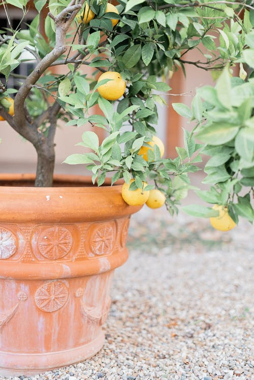 Yellow Fruit on Brown Clay Pot