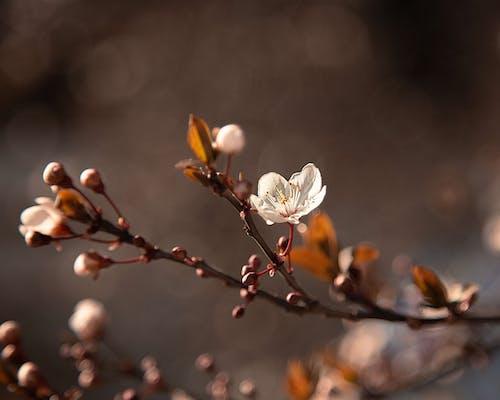 Základová fotografie zdarma na téma almendro, bílá květina, detailní záběr
