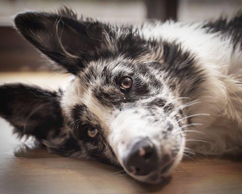 Základová fotografie zdarma na téma australský ovčák, dívání, domácí mazlíček