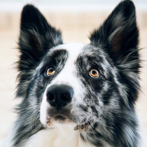 Základová fotografie zdarma na téma australský ovčák, domácí mazlíček, eskimální pes