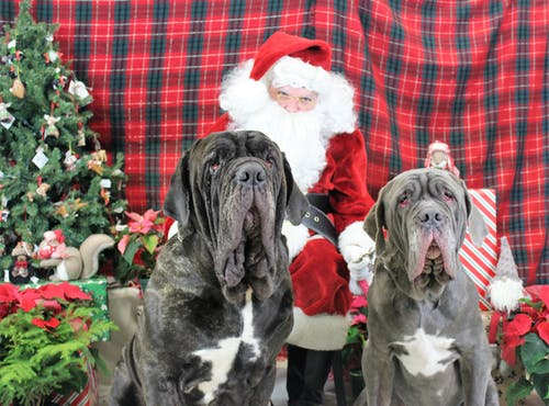 Free stock photo of christmas dog