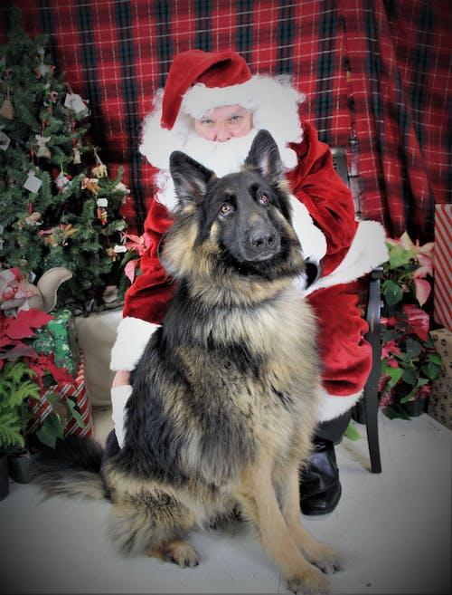 Free stock photo of german shepherd